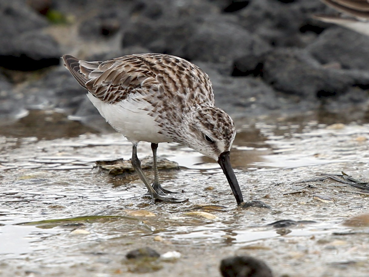 Broad-billed Sandpiper - David  Tytherleigh