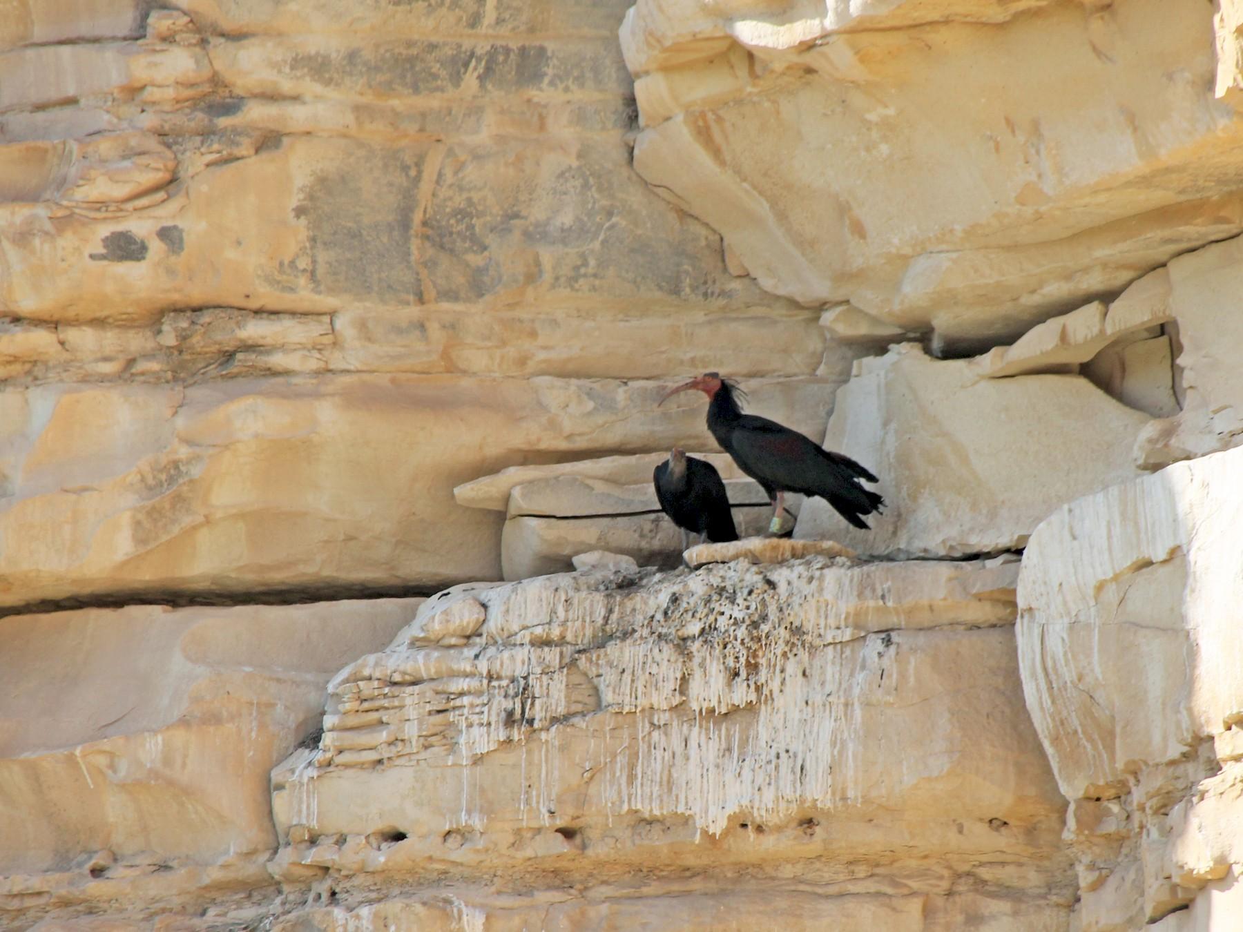 Northern Bald Ibis - Paul Chapman