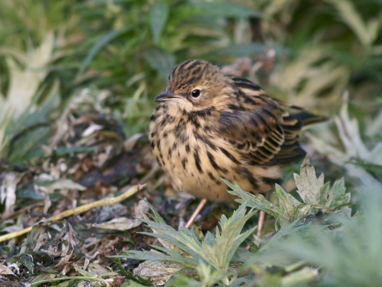 Red-throated Pipit - Brian Sullivan