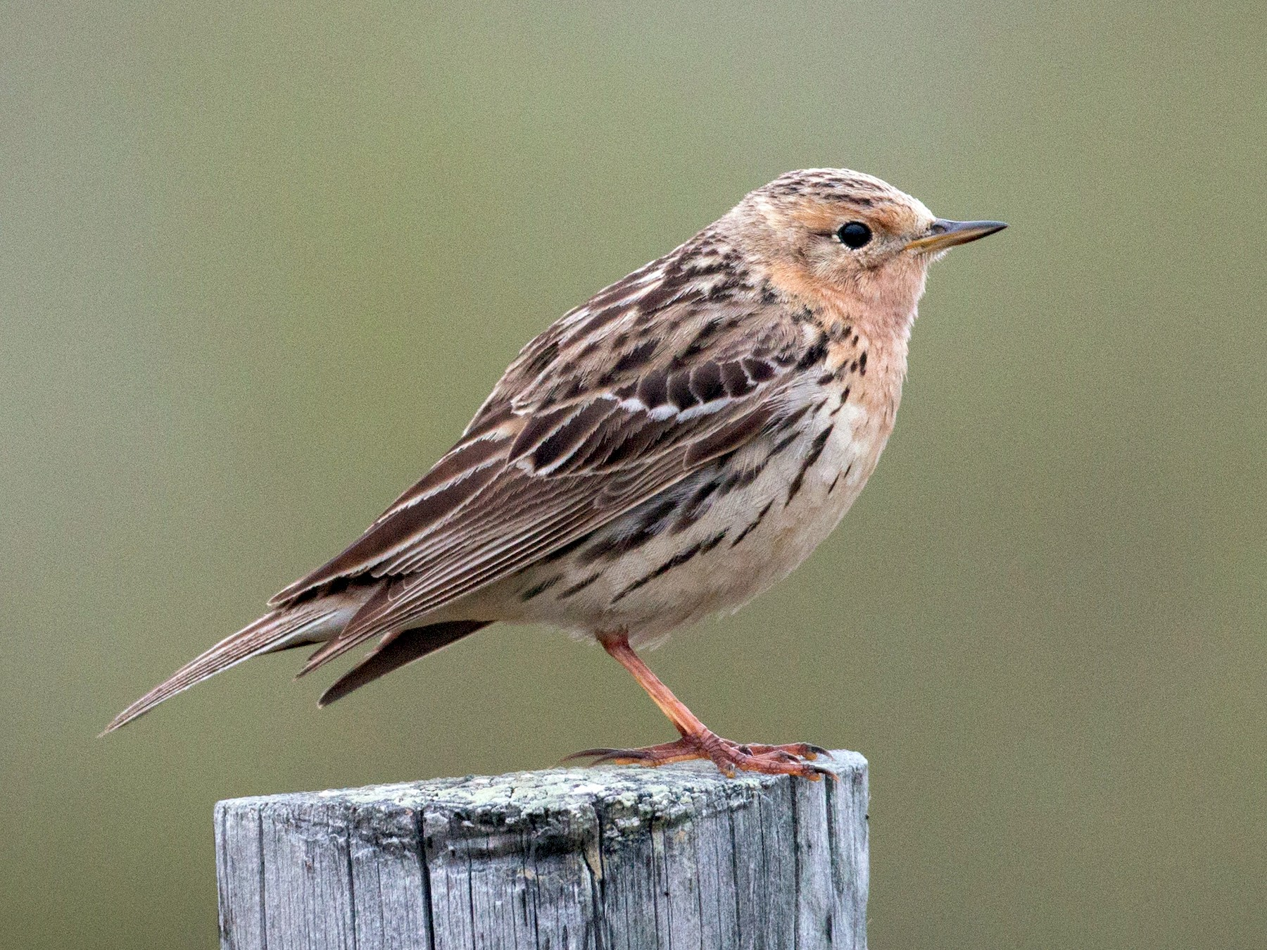Red-throated Pipit - Ian Davies