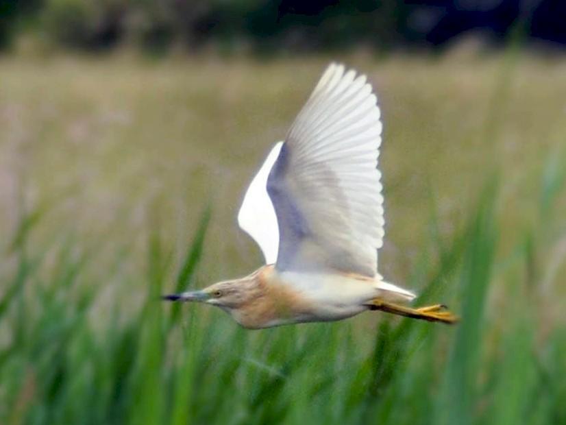 Squacco Heron - Raphaël Nussbaumer