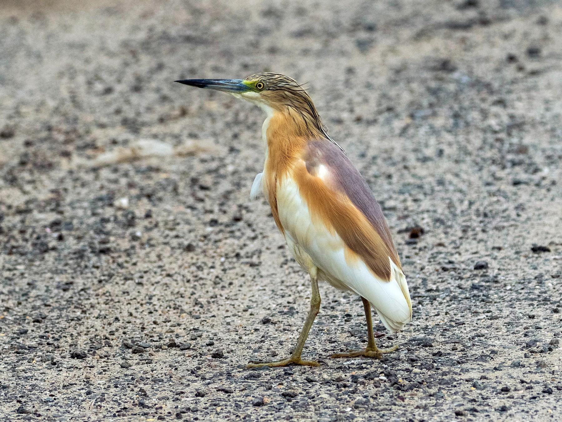 Squacco Heron - Markus Craig