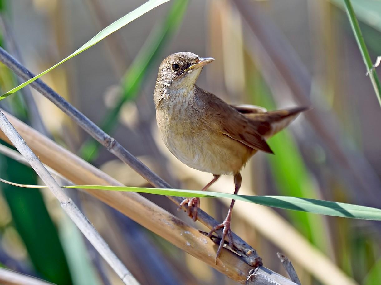 Savi's Warbler - Ferit Başbuğ
