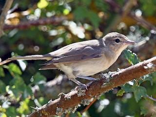 - Garden Warbler