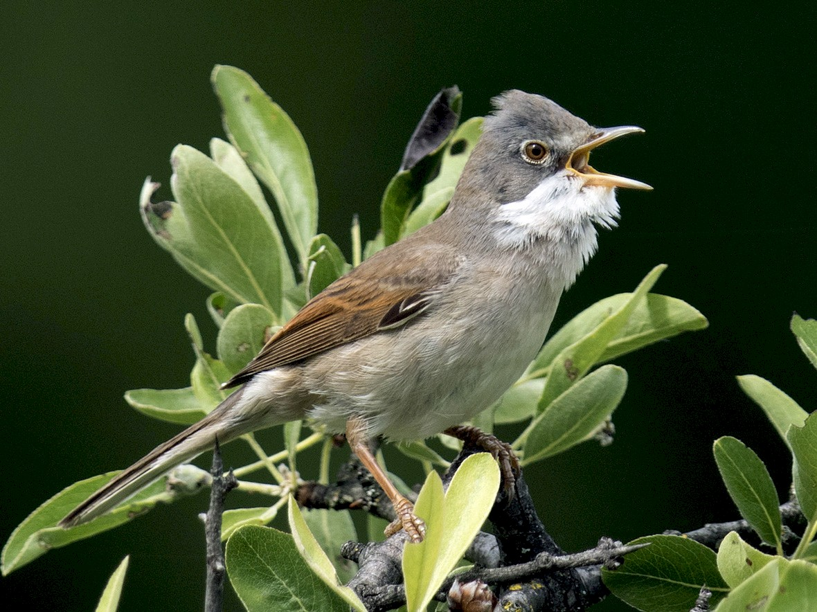 Greater Whitethroat - Lefteris Stavrakas