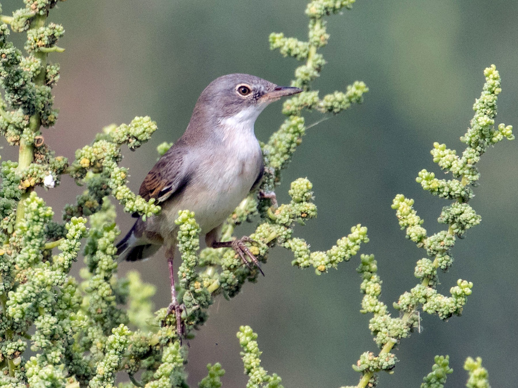 Greater Whitethroat - Markus Craig