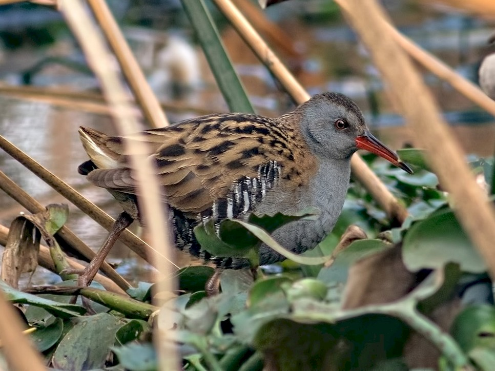 Water Rail - Kavi Nanda