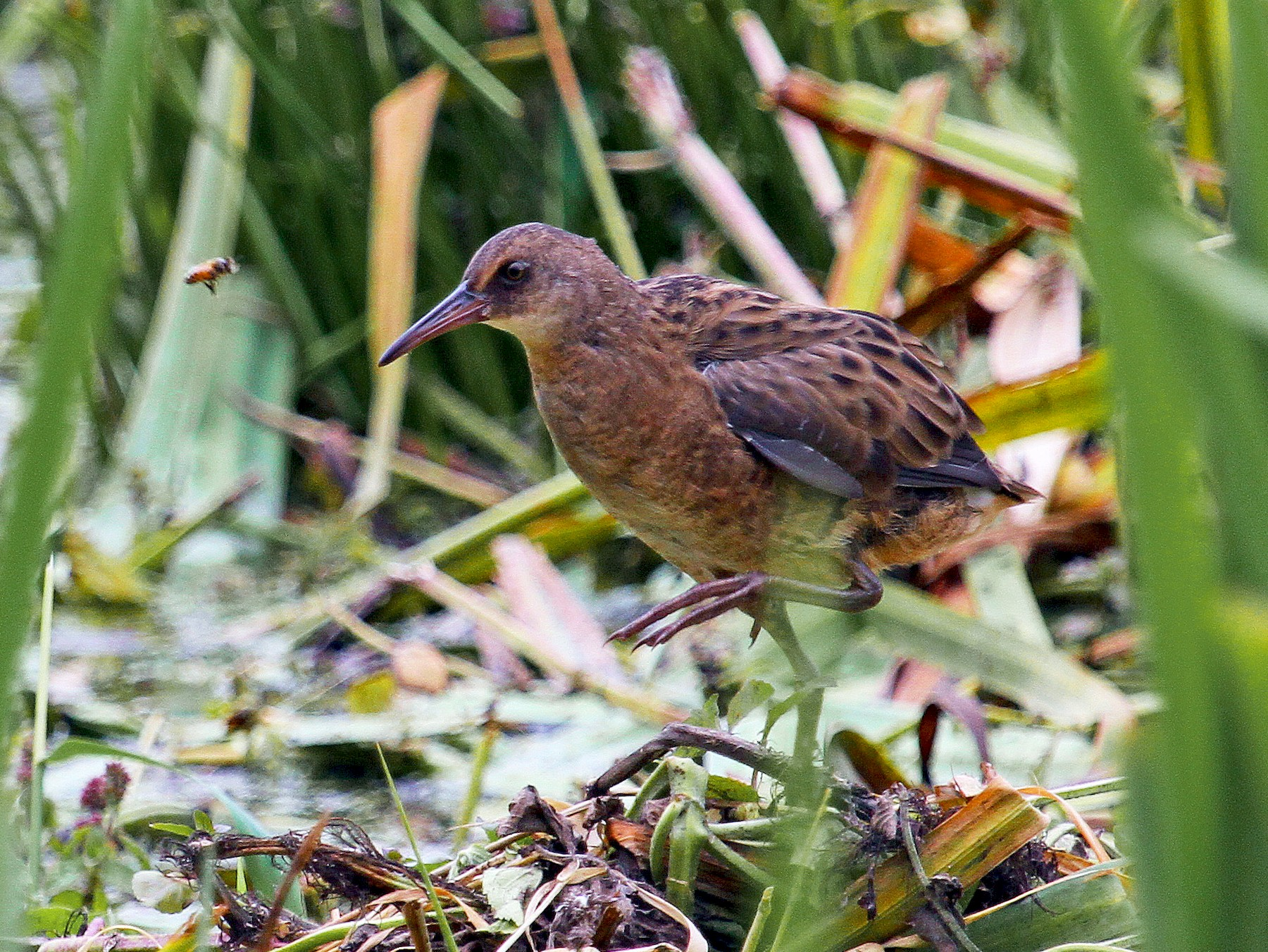 Water Rail - Paul Lewis