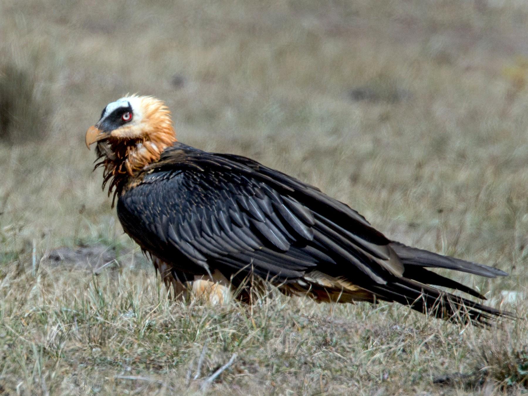 Bearded Vulture - Ian Davies