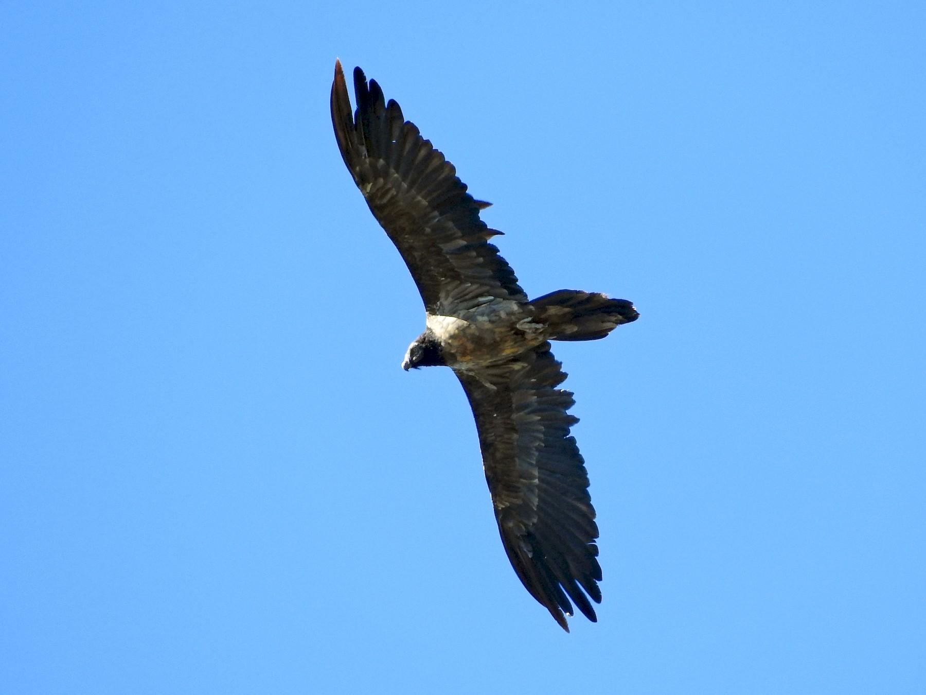 Bearded Vulture - Eneko Azkue