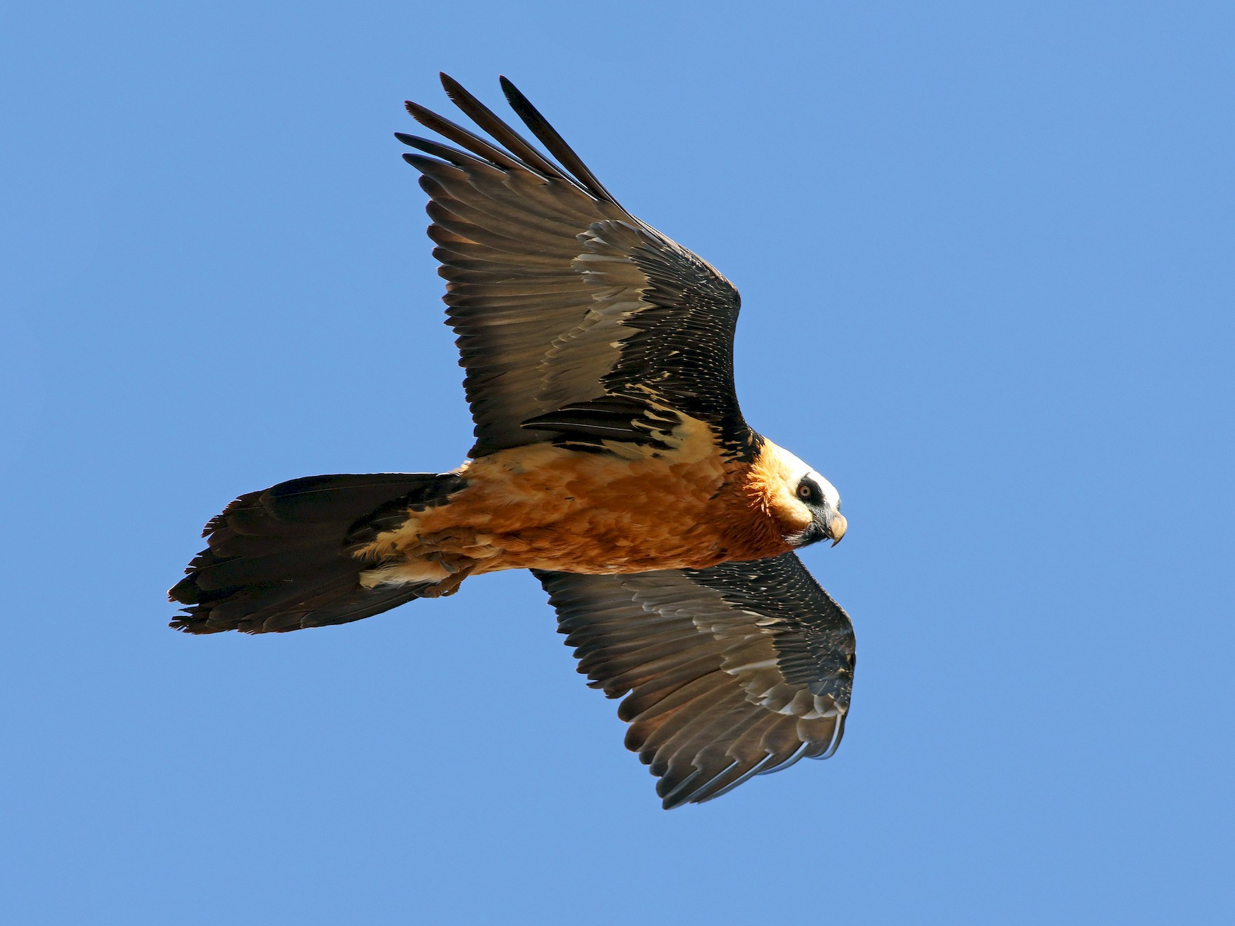 Bearded Vulture - Andrew Spencer