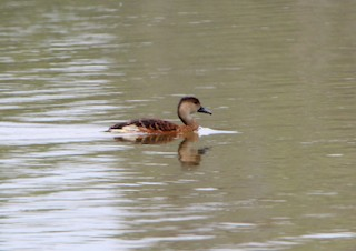 Wandering Whistling-Duck, ML45997731