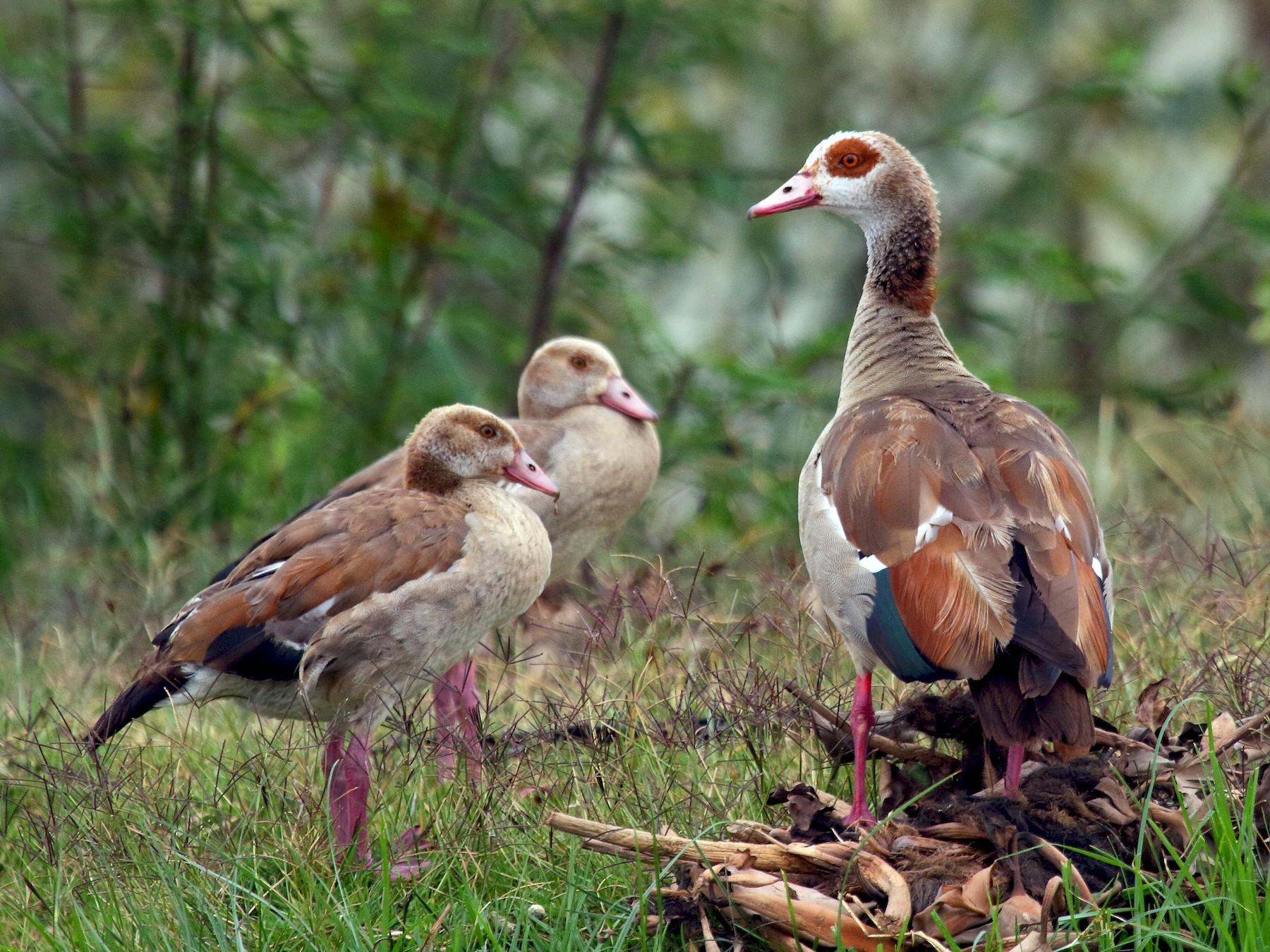 Egyptian Goose - Patrick J. Blake
