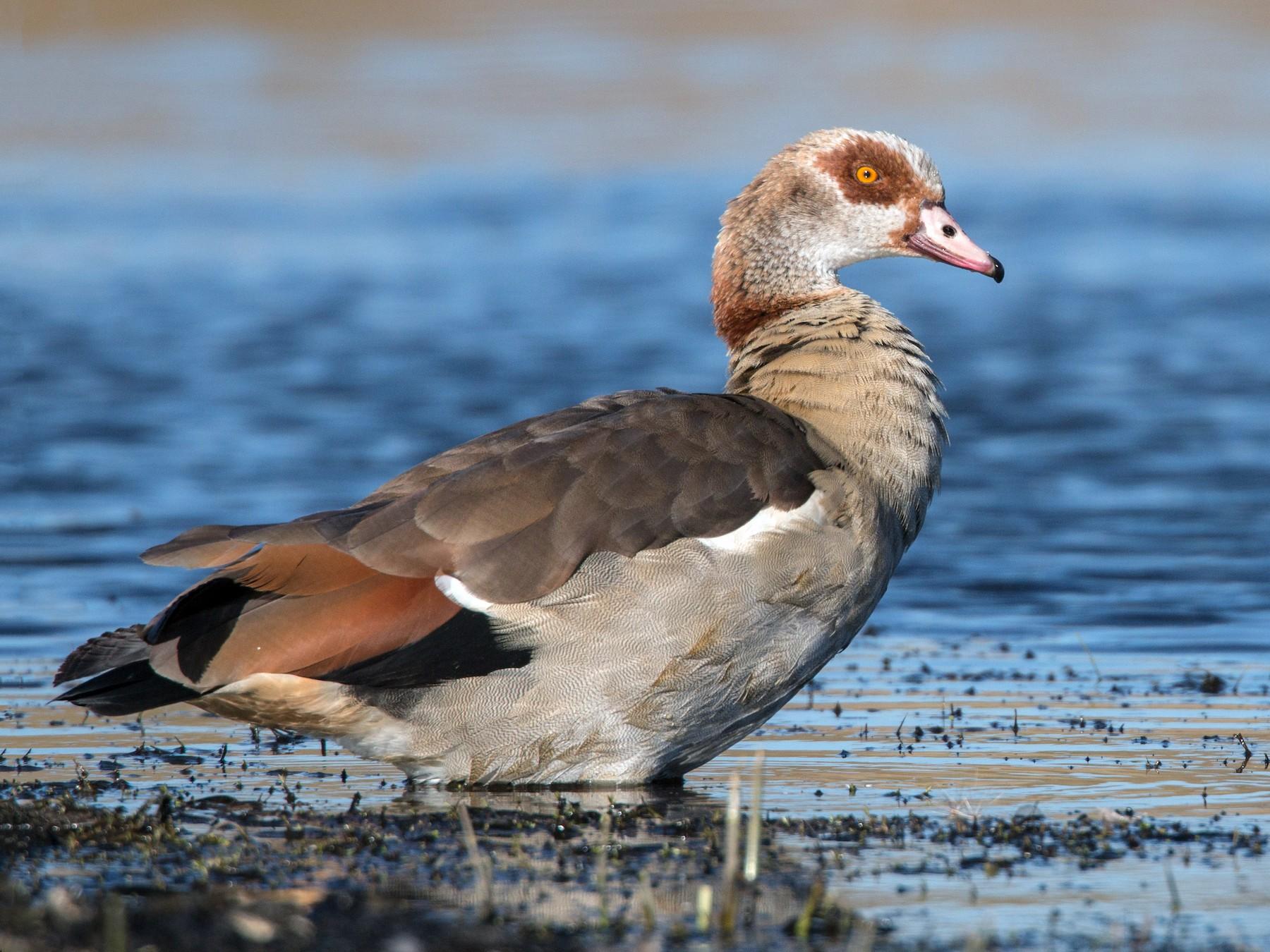 Egyptian Goose - Ian Davies