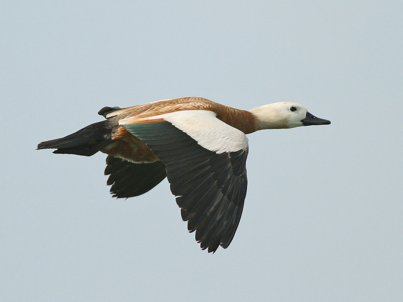 Ruddy Shelduck (Brahminy Duck) - Jeremiah Trimble