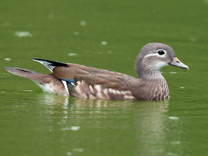 Mandarin Duck - David Irving