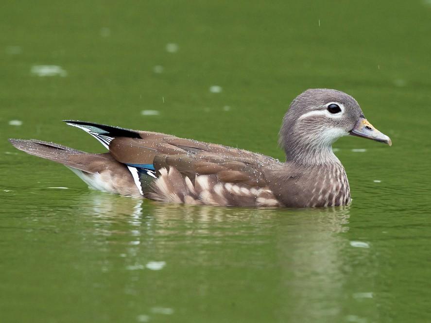 Mandarin Duck - David Irving