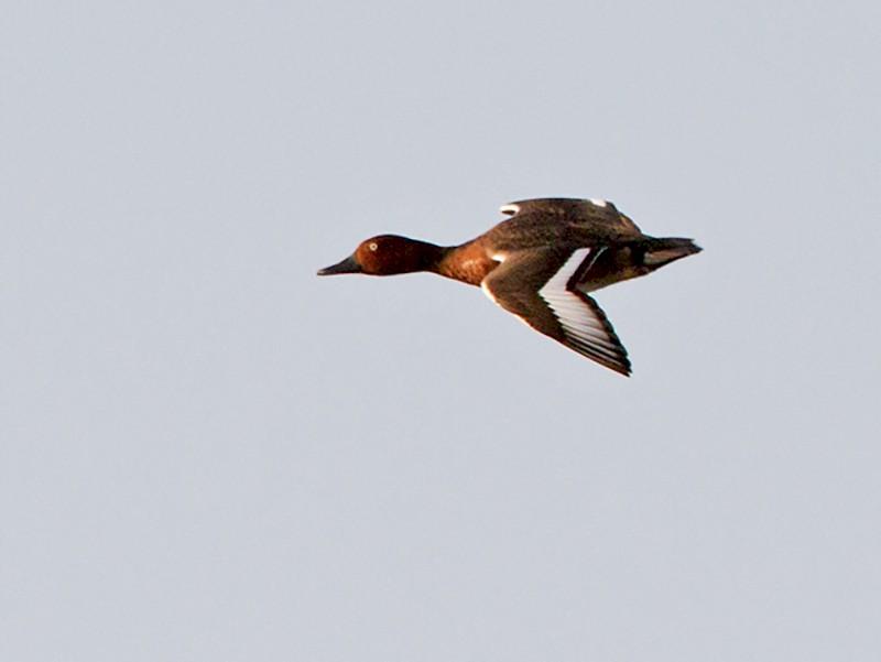 Ferruginous Duck - Yann Kolbeinsson
