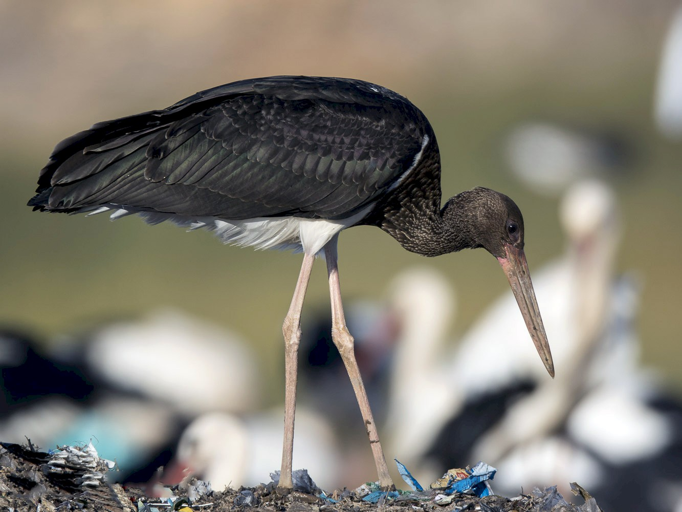 Black Stork - Ricardo Rodríguez
