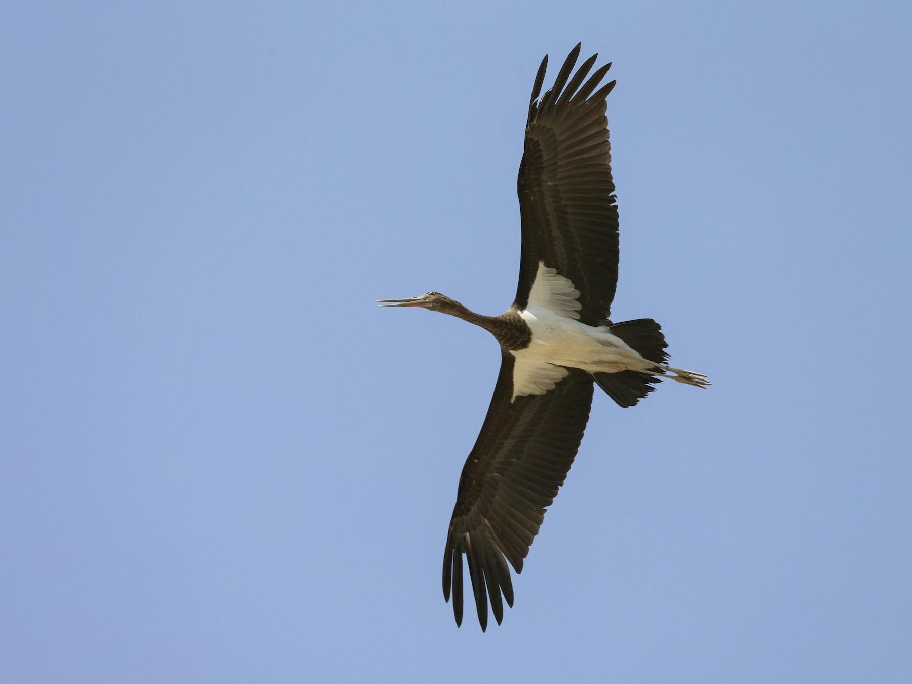 Black Stork - Omar alshaheen