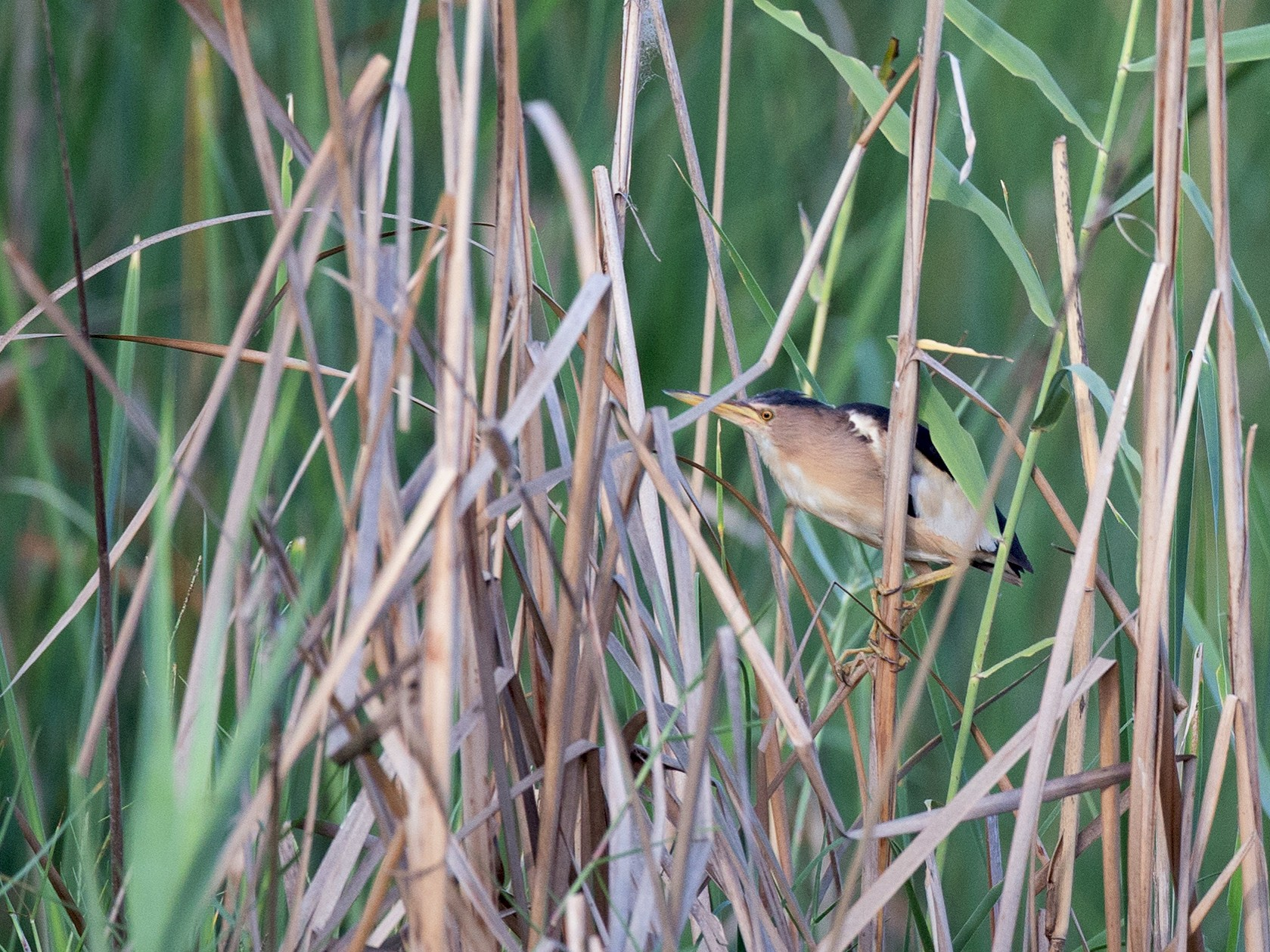 Little Bittern - Chris Wood