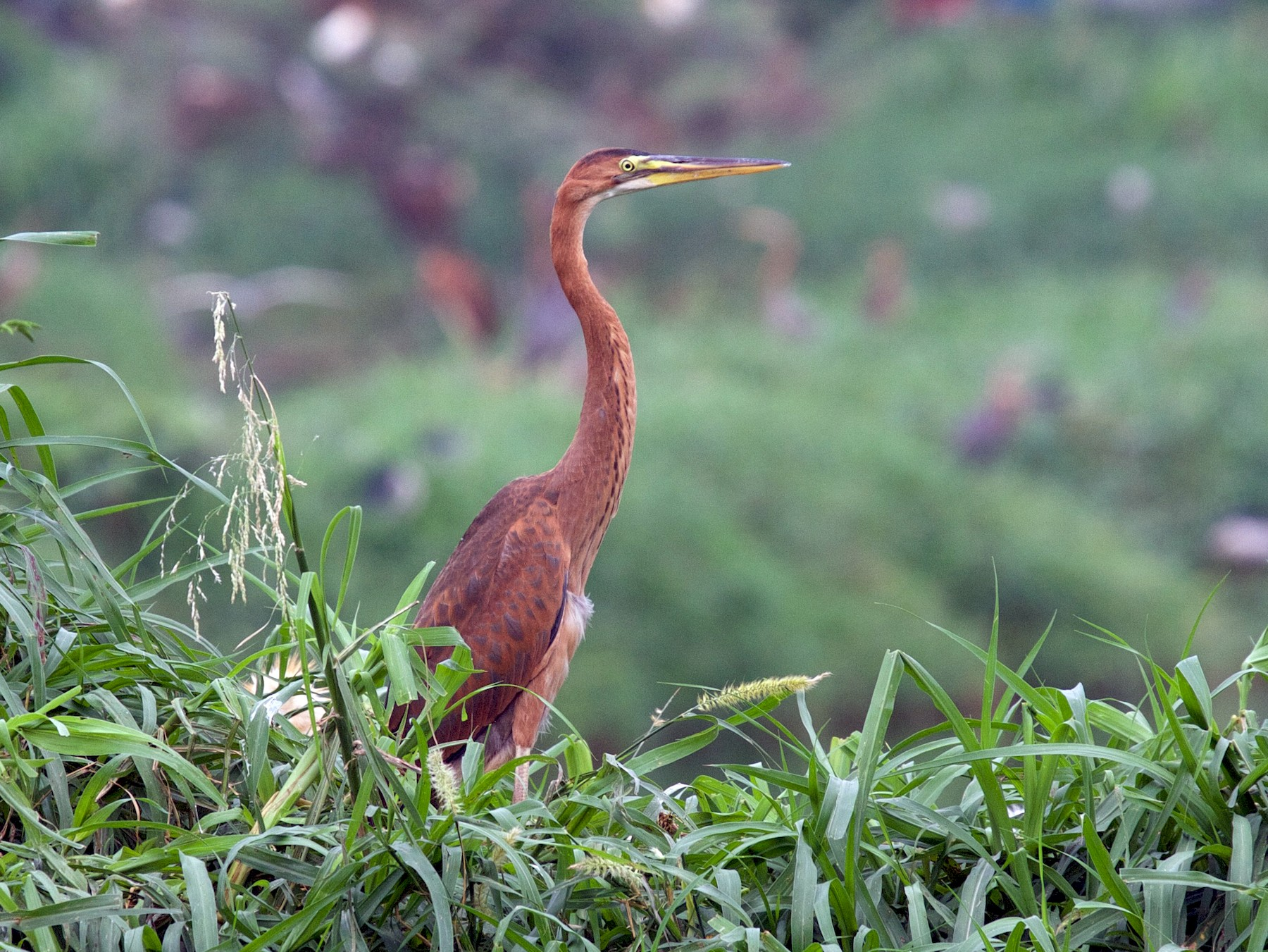 Purple Heron - Matt Brady