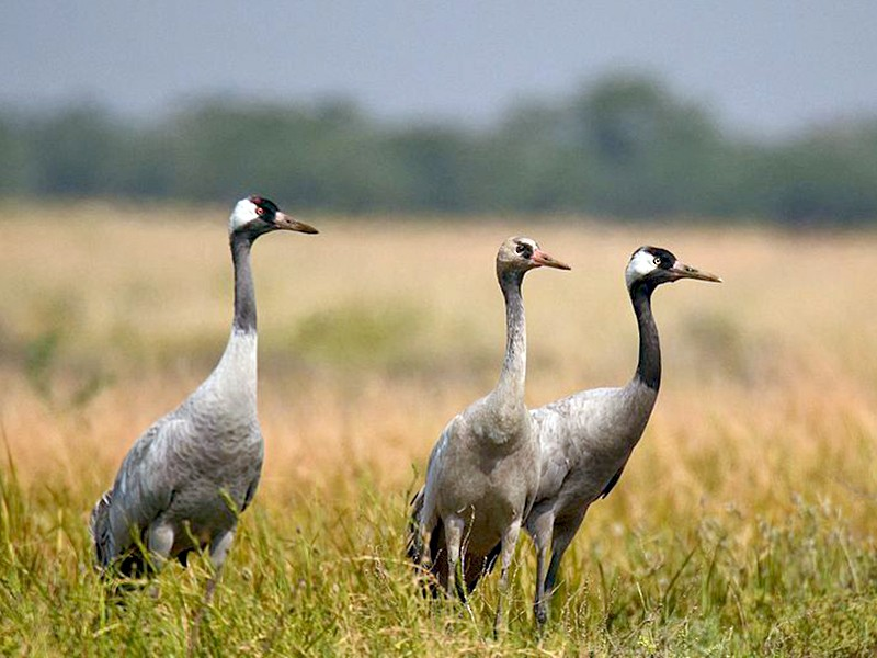 Common Crane - Harsha Jayaramaiah