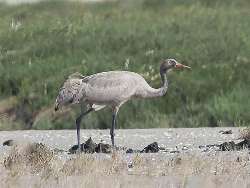Common Crane - Omar alshaheen
