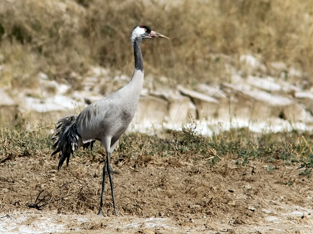 Common Crane - Garima Bhatia