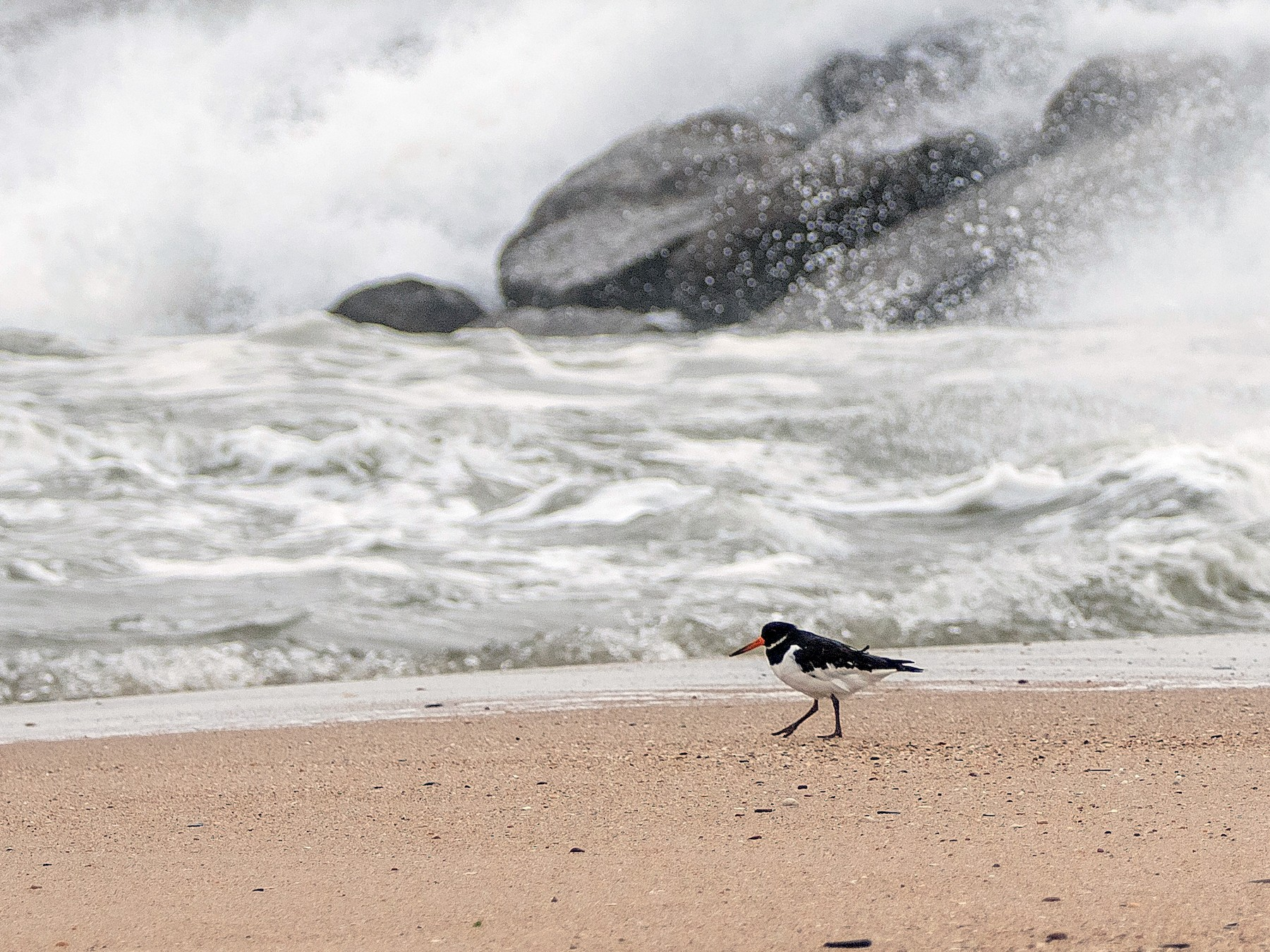 Eurasian Oystercatcher - PMDE ESTEVES