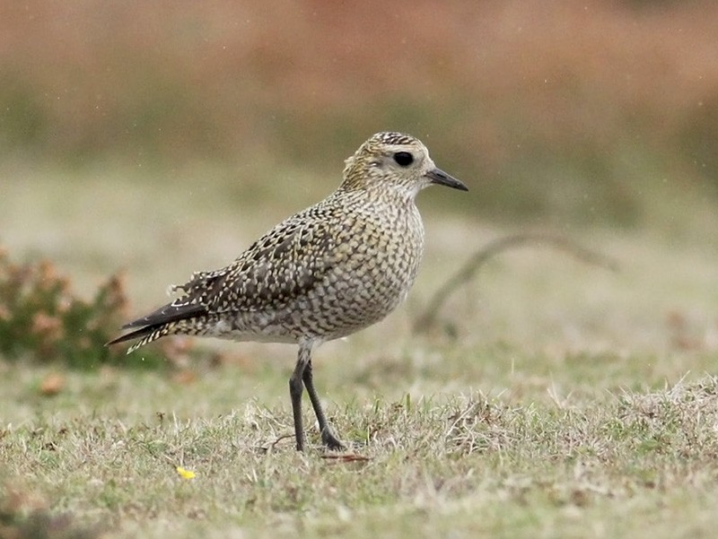 European Golden-Plover - Adrien Mauss