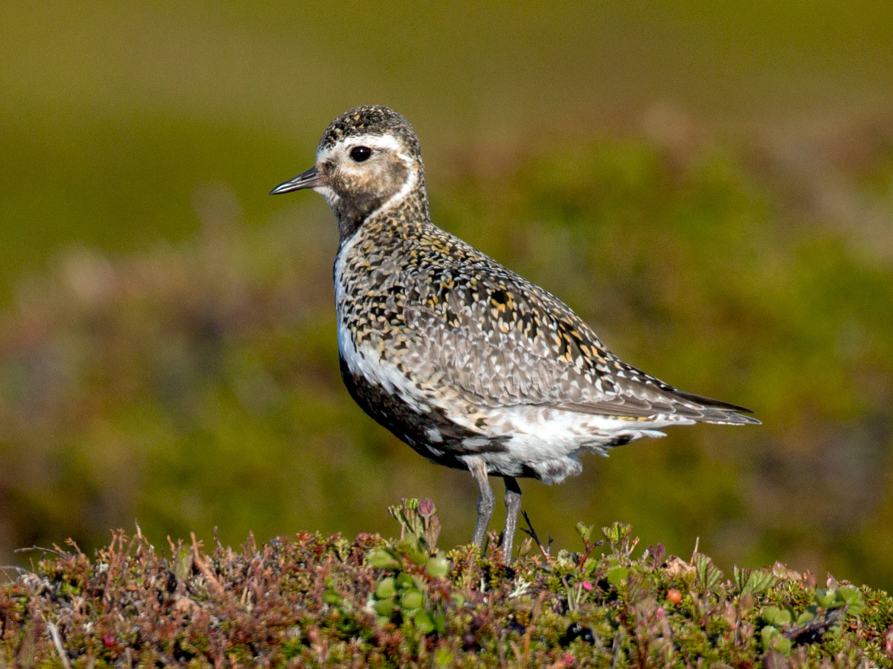 European Golden-Plover - Ian Davies