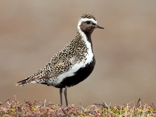 - European Golden-Plover