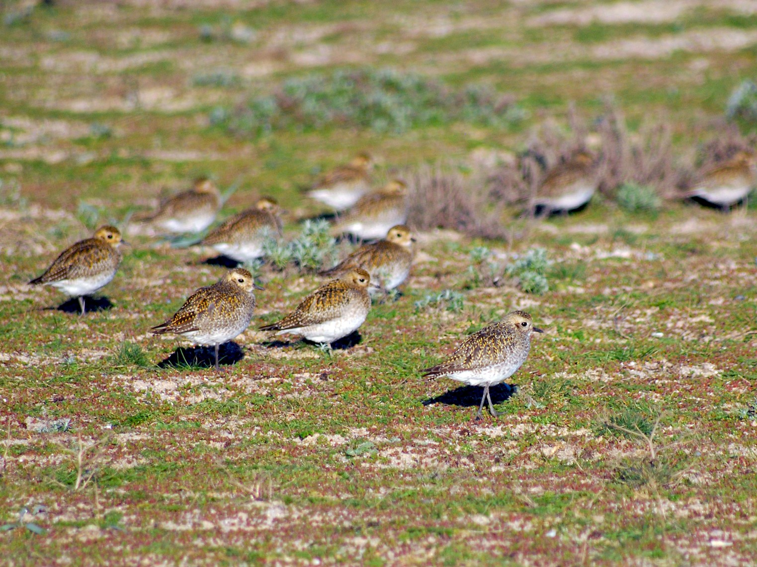 European Golden-Plover - José Marques