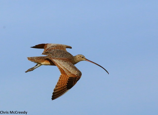 © Chris McCreedy - no playbacks - Long-billed Curlew