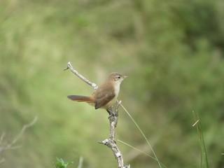 - Streak-fronted Thornbird