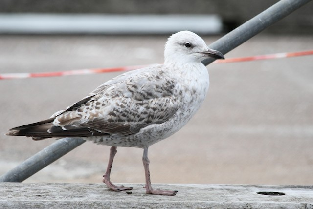 Herring Gull (European)