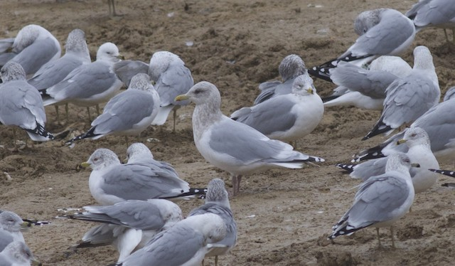 Iceland Gull (Thayer's)
