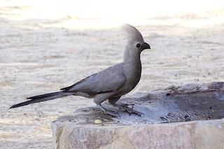 - Gray Go-away-bird