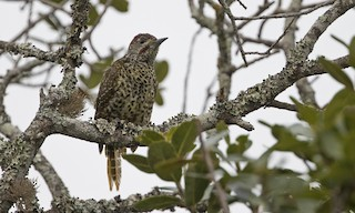 - Knysna Woodpecker