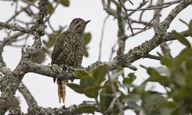Knysna Woodpecker