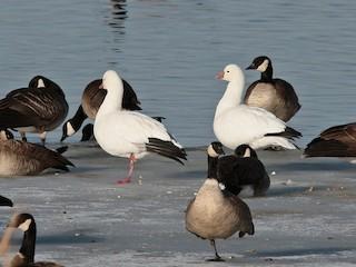 Ross's Goose, ML46248781