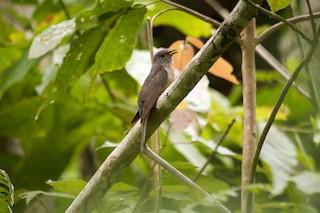 - Moluccan Cuckoo