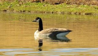 Canada Goose, ML46311101