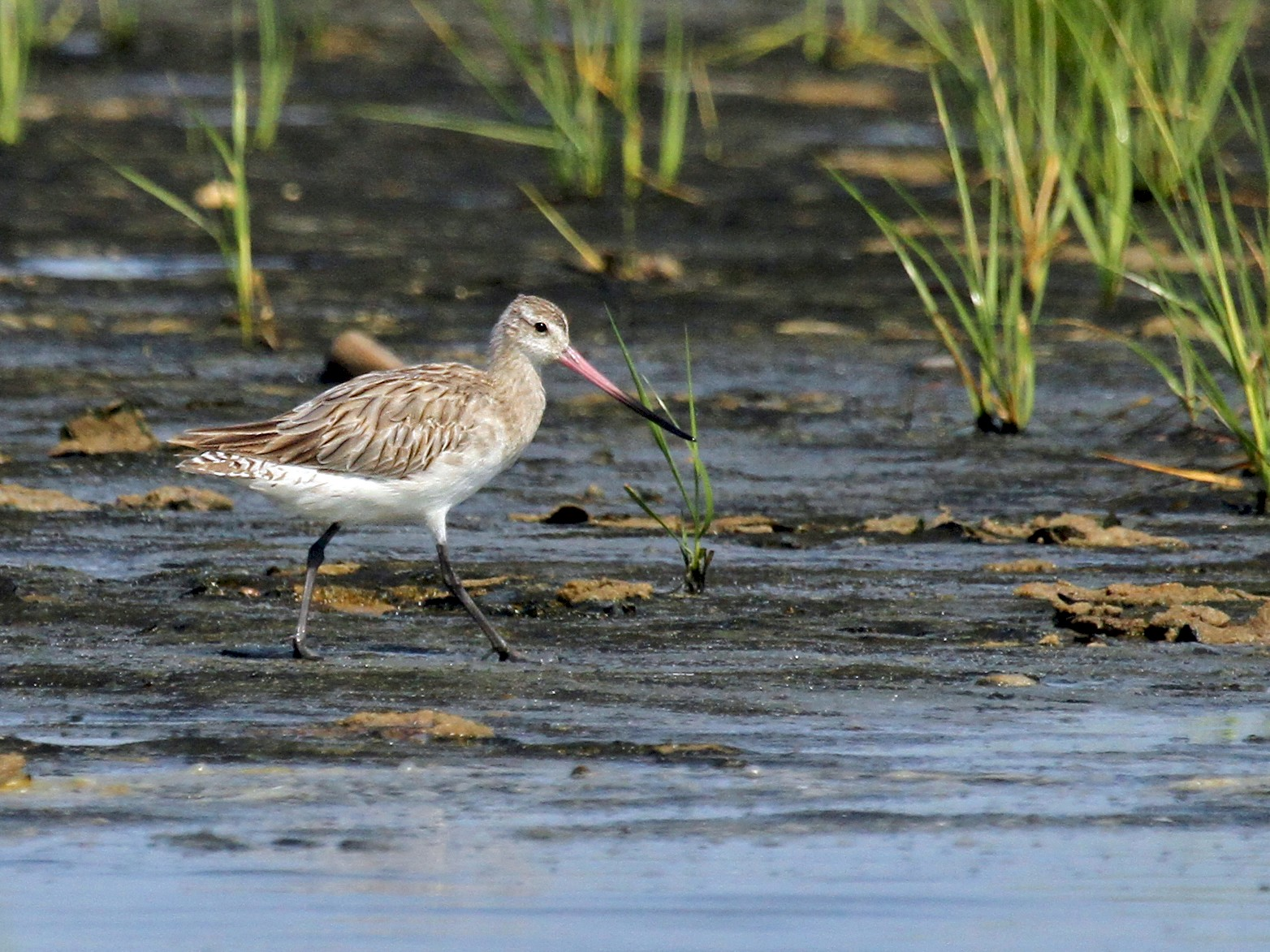 Bar-tailed Godwit - Ryan Schain