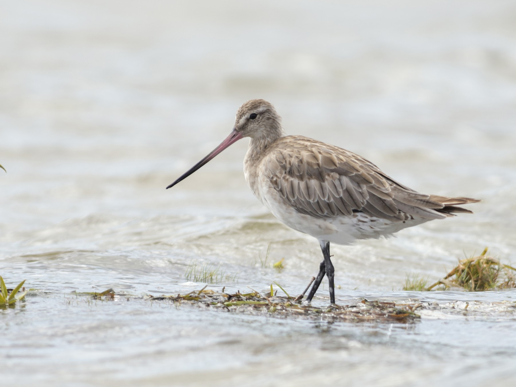 Bar-tailed Godwit - Peter Taylor