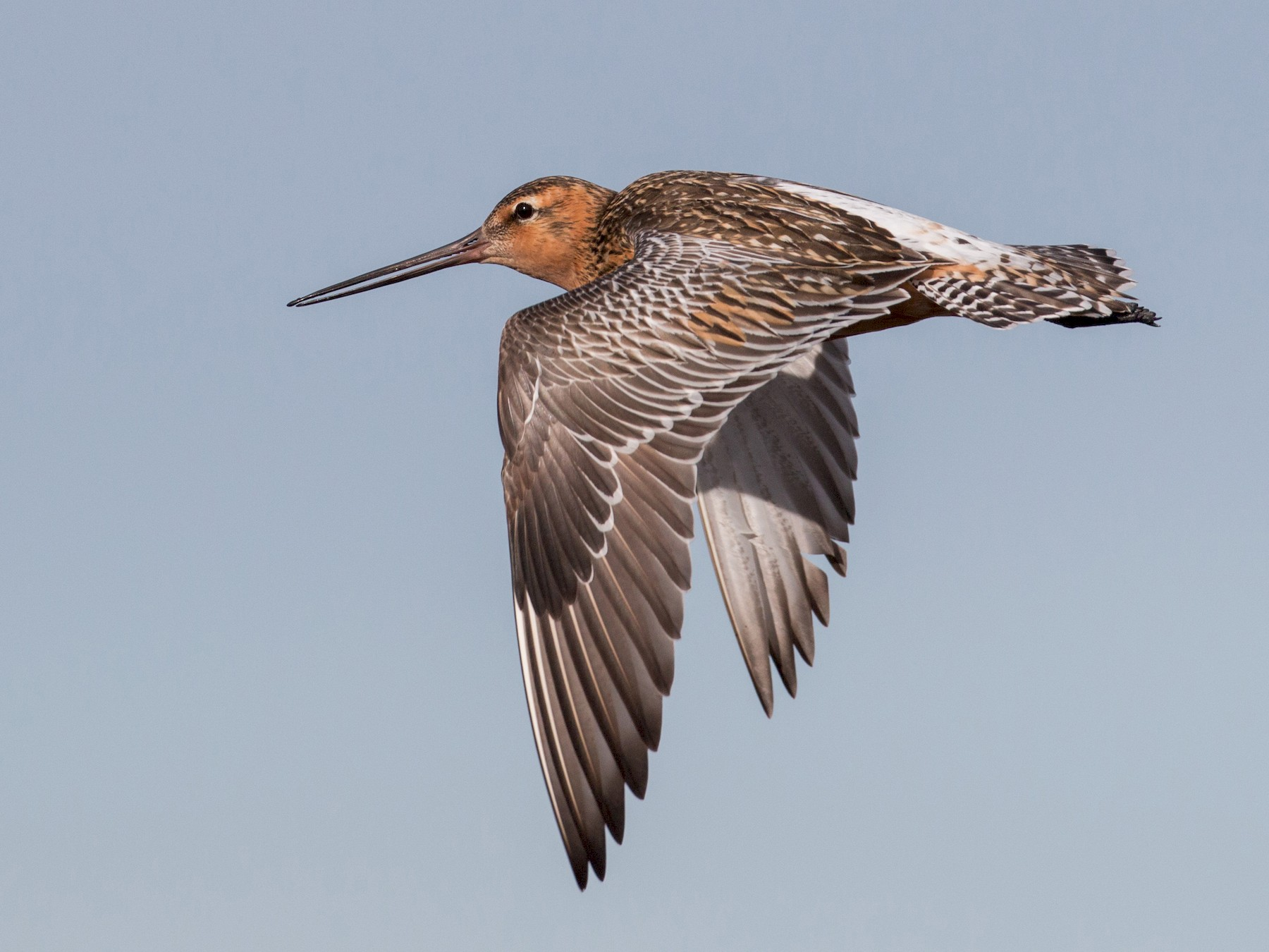 Bar-tailed Godwit - Ian Davies