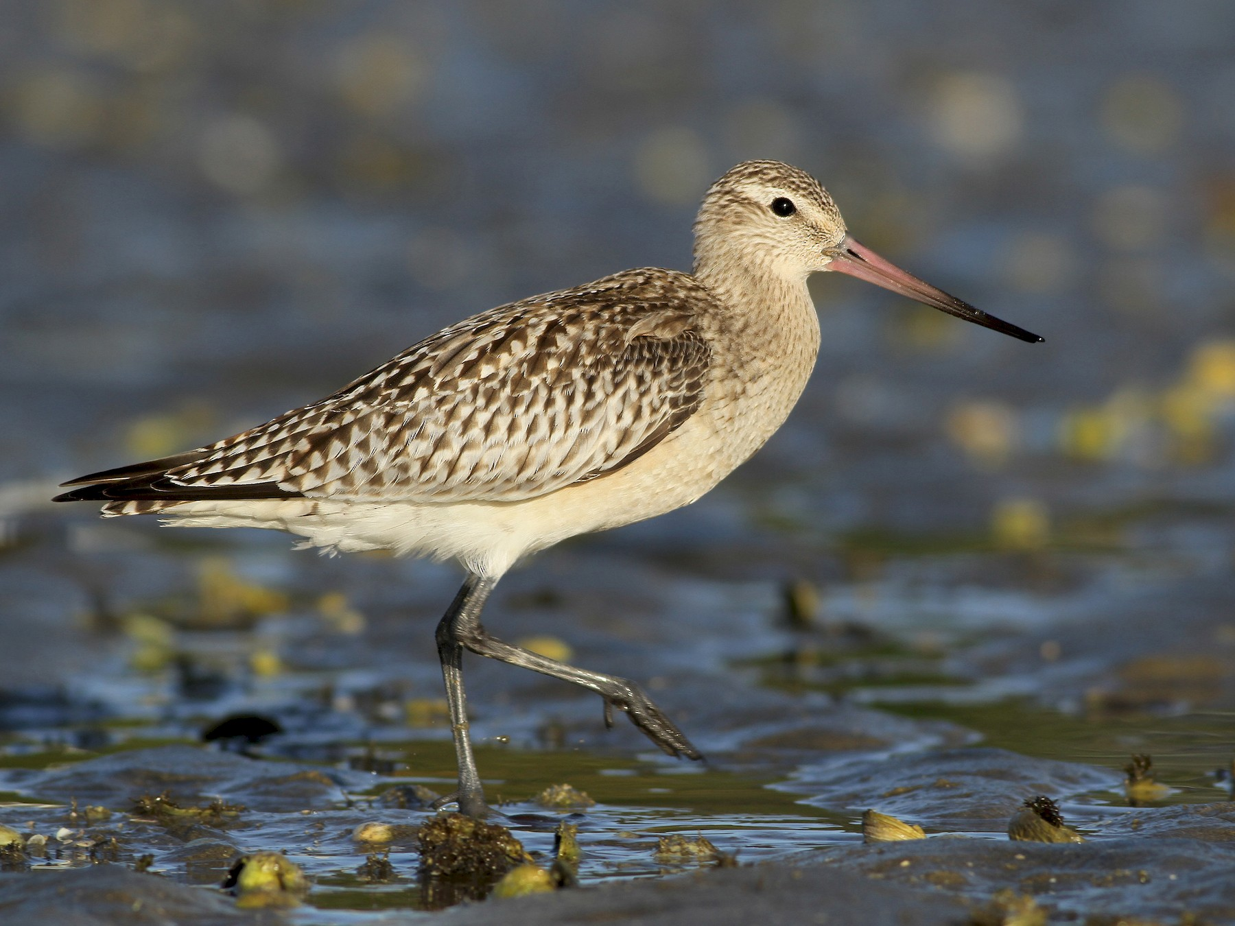 Bar-tailed Godwit - Evan Lipton