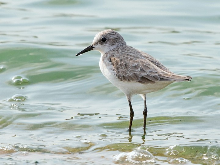 Little Stint - David Irving