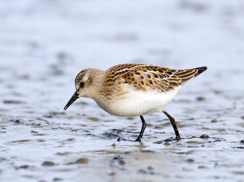 Little Stint - Ric Else